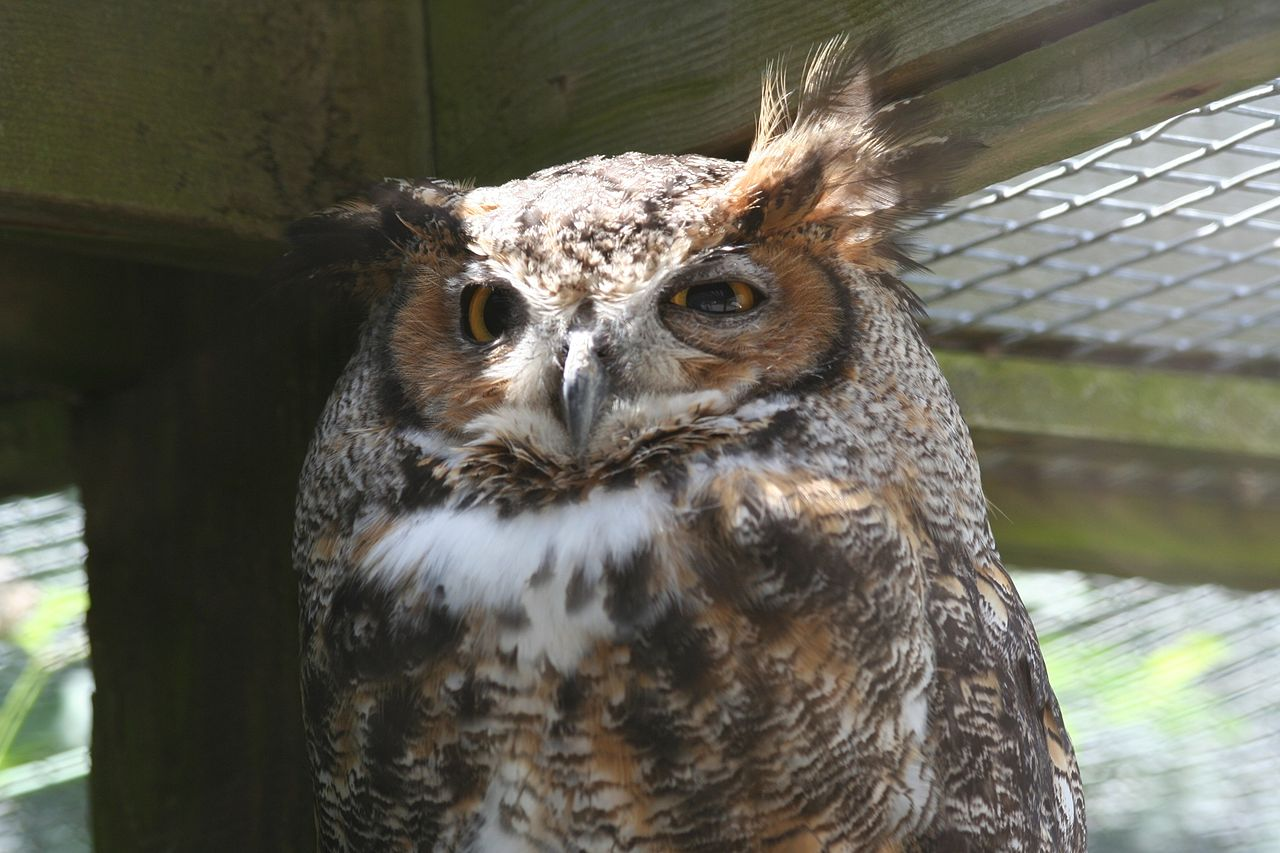 wiki great horned