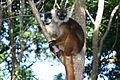 Lemur11.JPG