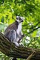 Lemur (36901193386).jpg