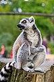Lemur (37122807646).jpg