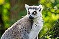 Lemur (37122885416).jpg