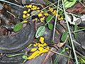Leocarpus fragilis.jpg