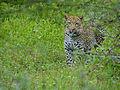 Leopard (Panthera pardus) (12906704853).jpg
