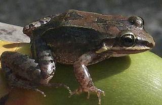 <i>Leptodactylus</i> Genus of amphibians