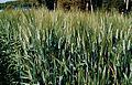 Les Plantes Cultivades. Cereals. Imatge 1824.jpg