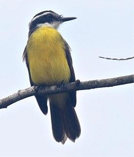 Lesser kiskadee species of bird