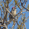 Lesser Spotted Woodpecker (Dendrocopos minor) (8521271112).jpg