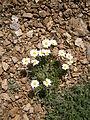 Leucanthemopsis alpina 001.jpg