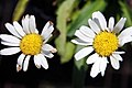 Leucanthemum x superbum Snow Lady 1zz.jpg