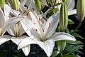 Lilium asiatic Reinesse 2zz.jpg