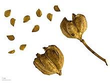 semillas de lilium