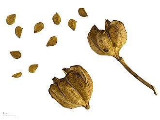 Lilium candidum - Seed pods and seeds - MHNT