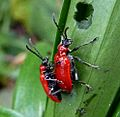 Lily beetles. Lilioceris lilii. - Flickr - gailhampshire.jpg