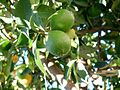 Limes on the vine fountain valley california.jpg