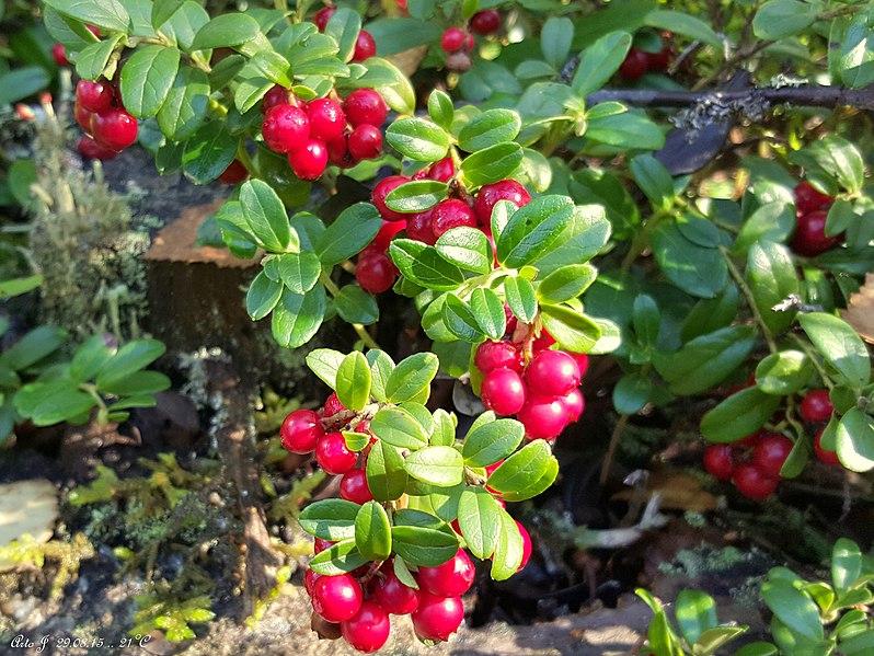 File:Lingonberry (Vaccinium vitis-idaea) - panoramio.jpg