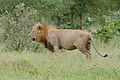 Lion (Panthera leo) (16760242383).jpg