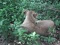 Lion from Bannerghatta National Park 8486.JPG