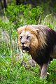 Lion male 5.jpg