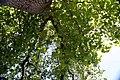 Liriodendron tulipifera 62zz.jpg