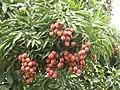 Litchi chinensis in Ramnagar AJTJ P1130039.jpg