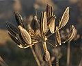 Lomatium nudicaule mature seeds 1.jpg