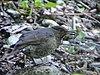 Long-billed Thrush (Zoothera monticola) DSC02530