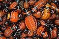 Lots of colorado potato beetle larvas (Leptinotarsa decemlineata).jpg