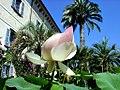Lotus auf der Isola Madre.jpg