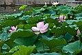 Lotus in 谐趣园 - Garden of Harmonious Interests (7873624622).jpg