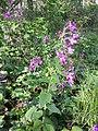 Lunaria annua sl20.jpg