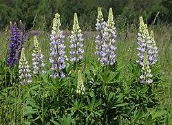 Lupinus polyphyllus UA 2015 G5.jpg