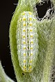 Lycaenidae larva (17014383845).jpg