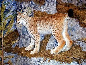 Eurasian lynx - Scandinavian lynx (Lynx lynx lynx), mounted