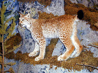 Eurasian lynx - Northern lynx (Lynx lynx lynx), mounted