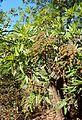 Lyonothamnus floribundus kz5.jpg