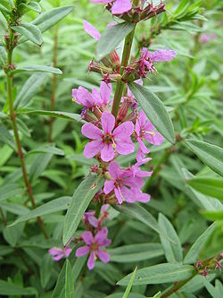 Lythrum anceps(Flower).jpg