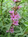 Lythrum anceps(Flower).jpg