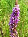 Lythrum salicaria 2-jgreenlee (5097920644).jpg