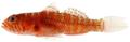 Lythrypnus minimus - pone.0010676.g174.png