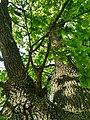 MD.DN.Dondușeni - stejar pedunculat pe traseul Dondușeni-Plop - apr 2018 - 15.jpg