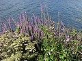 Maastricht 2012 Afvoerkanaal bloemen.JPG