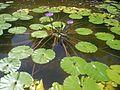 Macau Park Jardim da Flora lotus Mo707.JPG