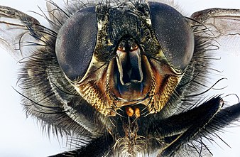 Macro portrait of a housefly Musca domestica.jpg