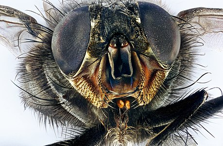 Macro portrait of a housefly Musca domestica