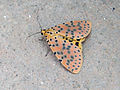 Madagaskar Schmetterling01052011.JPG
