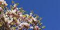 Magnolia Grandiflora (4532016868).jpg