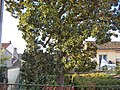 Magnolia arbre.jpg