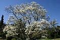 Magnolia kobus 4zz.jpg