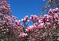 Magnolias at National Arboretum (25970587676).jpg