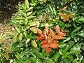 Mahonia aquifolium - Oregonsko grožđe.jpg